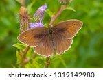 A Male Meadow Brown Butterfly ...