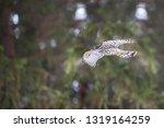 flying northern goshawk ...   Shutterstock . vector #1319164259