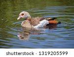 Profile Of Egyptian Goose ...