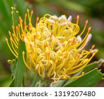 close up of yellow pincushion... | Shutterstock . vector #1319207480