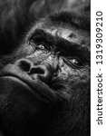 gorilla apes  face in close up... | Shutterstock . vector #1319309210