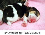Newborn Beagle Puppy
