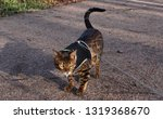 bengal cat with harness outdoors | Shutterstock . vector #1319368670