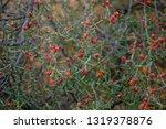 chollo cholla cactus christmas... | Shutterstock . vector #1319378876