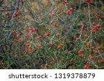 chollo cholla cactus christmas... | Shutterstock . vector #1319378879