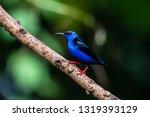shining honeycreeper  cyanerpes ... | Shutterstock . vector #1319393129