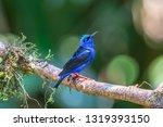 shining honeycreeper  cyanerpes ... | Shutterstock . vector #1319393150