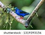 shining honeycreeper  cyanerpes ... | Shutterstock . vector #1319393156