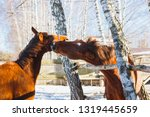 the red horse bites another...   Shutterstock . vector #1319445659