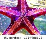 Red Knob Sea Starfish    ...