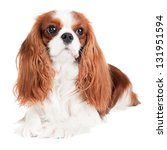 Small photo of cavalier king charles spaniel dog portrait