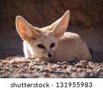 Desert Fox  Fennec Fox   Vulpe...