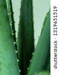 Aloe Vera Is Tropical Green...
