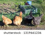 View Of Chickens Looking...
