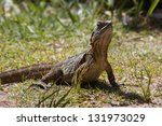 eastern water dragon. australia....   Shutterstock . vector #131973029