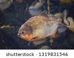 ordinary piranhas are a species ... | Shutterstock . vector #1319831546