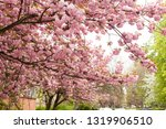 sakura blossom in the city of... | Shutterstock . vector #1319906510