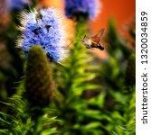 sphynx moth in flight. the...   Shutterstock . vector #1320034859
