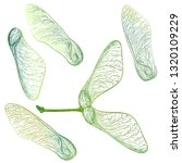 Green Maple Seeds Isolated On...