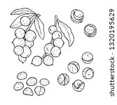 linear set of macadamia nuts... | Shutterstock .eps vector #1320195629