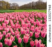 Group Of Pink Tulips On A...