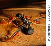 Red Ant Eating Black Ant
