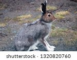 Stock photo hare on a country road in spring in evening hours of feeding and mating activity rut of hares 1320820760