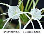 Spider Lilt Flower Closeup On...