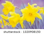 nature abstract.daffodil flower ... | Shutterstock . vector #1320908150
