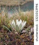 frailej n  exemplary plant of... | Shutterstock . vector #1321013996