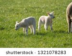 Two young spring Lambs in a field,Summerbridge,Nidderdale,North Yorkshire,England.