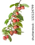 Wild Red Apples On A Branch....