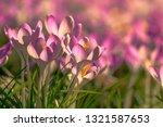 close up of beautiful flowering ...   Shutterstock . vector #1321587653