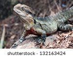 Large Colorful Lizard In...
