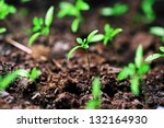 single sprout of tomato in earth   Shutterstock . vector #132164930