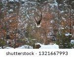 northern goshawk  accipiter...   Shutterstock . vector #1321667993