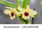 yellow imperial orchid branch... | Shutterstock . vector #1321693430