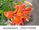 orange yellow lilies flowers ... | Shutterstock . vector #1321715450