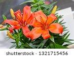 orange yellow lilies flowers ... | Shutterstock . vector #1321715456