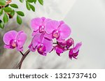 pink orchid branch phal flowers ... | Shutterstock . vector #1321737410