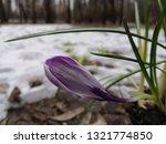 crocus in snow. close up ...   Shutterstock . vector #1321774850