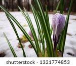 crocus in snow. close up ...   Shutterstock . vector #1321774853