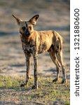 wild dog hunting in botswana ...   Shutterstock . vector #1321880600