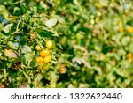 fresh ripe red tomatoes and the ... | Shutterstock . vector #1322622440