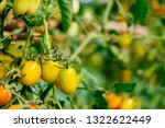 fresh ripe red tomatoes and the ... | Shutterstock . vector #1322622449