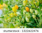 fresh ripe red tomatoes and the ... | Shutterstock . vector #1322622476