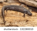 Small photo of Salamanders - A huge gravid or pregnant Smallmouth Salamander, Ambystoma texanum