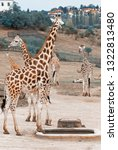 herd of rothschild giraffes ... | Shutterstock . vector #1322813480
