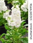 hoary stock or matthiola incana ... | Shutterstock . vector #1322874956