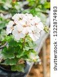 pelargonium   hortorum or... | Shutterstock . vector #1322874983